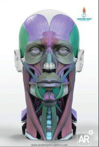 Anatomía Músculos faciales