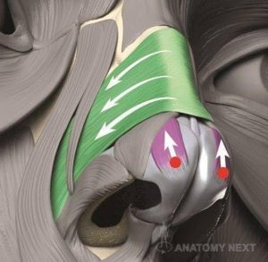 Musculo Multiforme Nariz