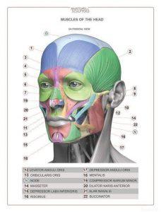 Músculos faciales